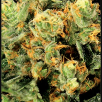 The Church Feminised Cannabis Seeds | Green House Seeds