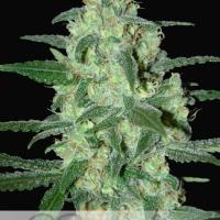 Thunder Bloody Mary Auto Feminised Cannabis Seeds