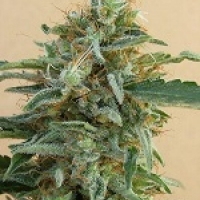 Tikal Feminised Cannabis Seeds