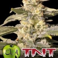 TNT Kush CBD Feminised Cannabis Seeds