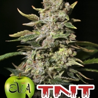 TNT Kush Feminised Cannabis Seeds