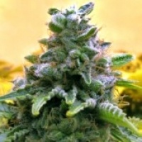 Advanced Seeds Auto Top 69 Feminised Cannabis Seeds