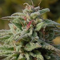 Trippy Gorilla Auto Feminised Cannabis Seeds | Big Head Seeds
