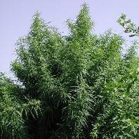 Tropical Mix Feminised Cannabis Seeds | Ace Seeds