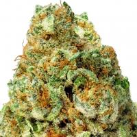 Turbo Bud Auto Feminised Cannabis Seeds | Heavyweight Seeds