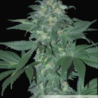 Ultraviolet Auto Feminised Cannabis Seeds
