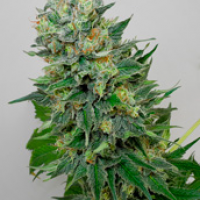 Flashberry Regular Cannabis Seeds | Mandala Seeds