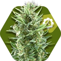 Vanilla ICE Auto Feminised Cannabis Seeds | Zambeza Seeds