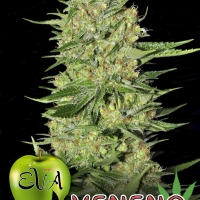Veneno Feminised Cannabis Seeds