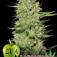 Veneno Feminised Cannabis Seeds