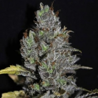 Viagrra Feminised Cannabis Seeds