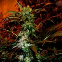 VIP Haze Feminised Cannabis Seeds