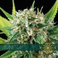 Amnesia Feminised Cannabis Seeds