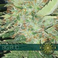Big Bud Feminised Cannabis Seeds