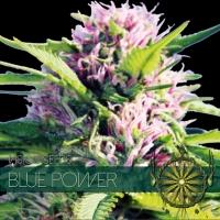 Blue Power Feminised Cannabis Seeds | Vision Seeds
