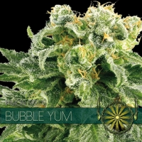 Bubble Yum Feminised Cannabis Seeds | Vision Seeds