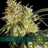 Gouda's Grass Feminised Cannabis Seeds | Vision Seeds