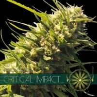 Critical Impact Feminised Cannabis Seeds | Vision Seeds