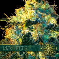 Jack Herer Feminised Cannabis Seeds | Vision Seeds