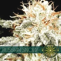 Russian Snow Feminised Cannabis Seeds | Vision Seeds