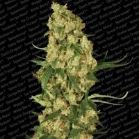 Wappa Feminised Cannabis Seeds | Paradise Seeds