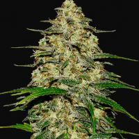 Wedding Cheesecake Feminised Cannabis Seeds | Fast Buds