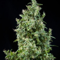 White Bhutanese Feminised Cannabis Seeds | Mandala Seeds