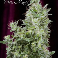 White Magic Feminised Cannabis Seeds | Mandala Seeds