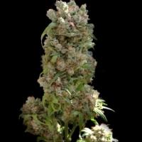 White Spanish Feminised Cannabis Seeds