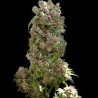 White Spanish Feminised Cannabis Seeds