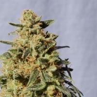 White Domina Feminised Cannabis Seeds
