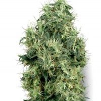 White Gold Feminised Cannabis Seeds | White Label Seed Company