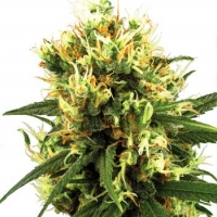 White Haze Automatic Feminised Cannabis Seeds | White Label Seed Company