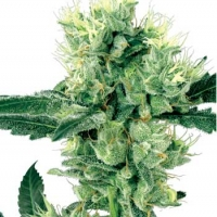 White Haze Regular Cannabis Seeds | White Label Seed Company