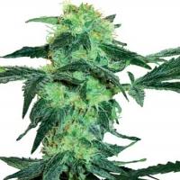 White Ice Feminised Cannabis Seeds | White Label Seed Company
