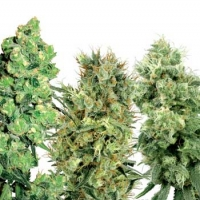 25 Mixed Regular Seeds | White Label Seed Company