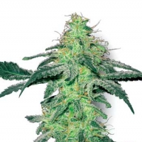 White Skunk Feminised Cannabis Seeds | White Label Seed Company
