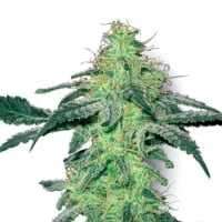 White Skunk Regular Cannabis Seeds