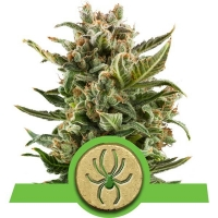 White Widow Auto Feminised Cannabis Seeds | Royal Queen Seeds