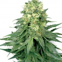 White Widow Automatic Feminised Cannabis Seeds | White Label Seed Company