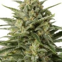 White Widow XXL Auto Feminised Cannabis Seeds   Dinafem Seeds