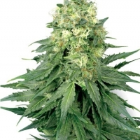 White Widow Feminised Cannabis Seeds | White Label Seed Company