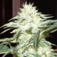 White Widow Regular Cannabis Seeds | Delta 9 Labs