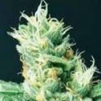 Widow 2004 Regular Cannabis Seeds