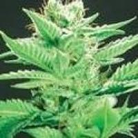 Widow Warrior Regular Cannabis Seeds