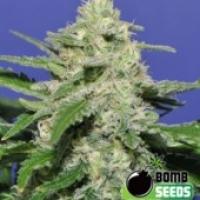 Bomb Seeds Widow Bomb Regular Cannabis Seeds (10 Regular) For Sale