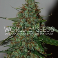 Wild Thailand Ryder Auto Feminised Cannabis Seeds | World of Seeds