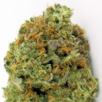 Wipeout Express Auto Feminised Cannabis Seeds | Heavyweight Seeds