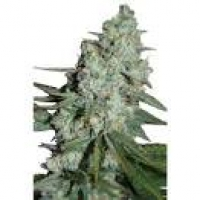 Wonder Skunk Feminised Cannabis Seeds