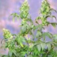 Yumbolt Feminised Cannabis Seeds   Sagarmartha Seeds